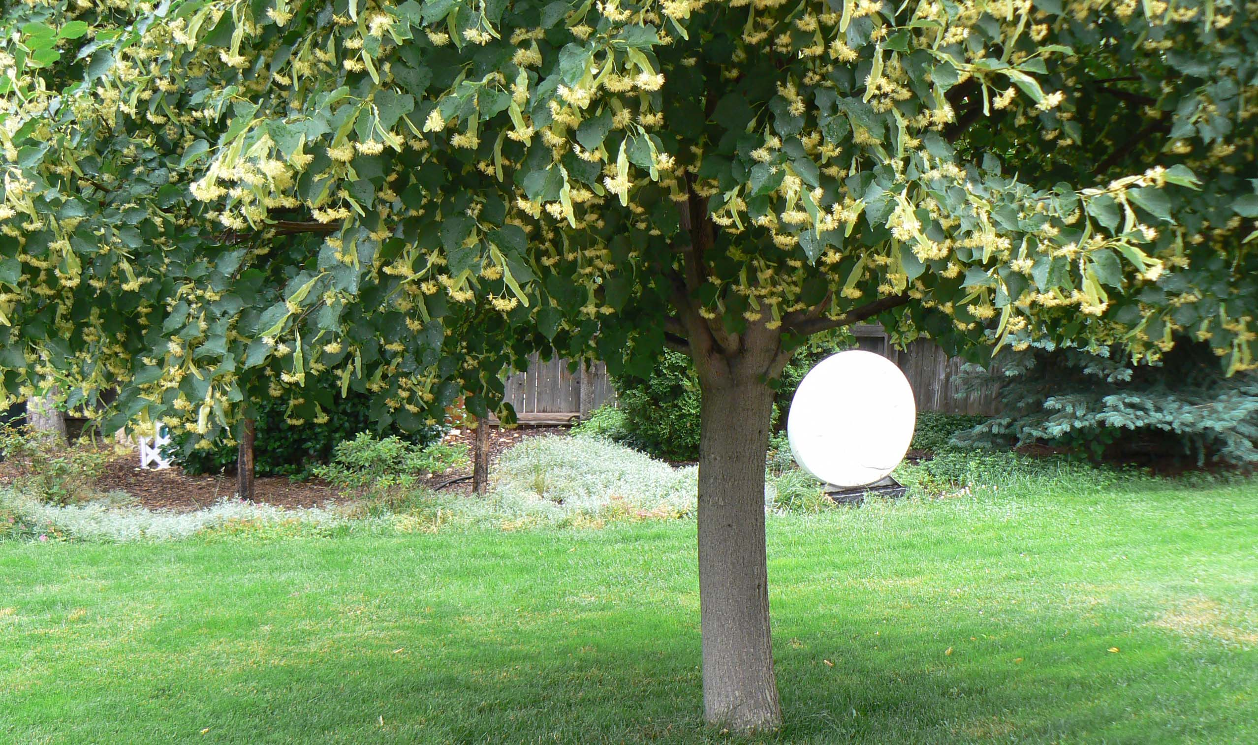 Lime Or Linden Tree With Autumn Leaves Stock Photo, Picture And ...