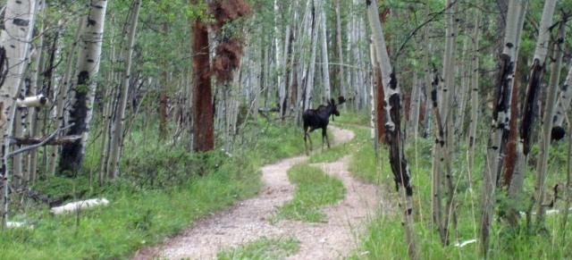 bull moose as juvenile