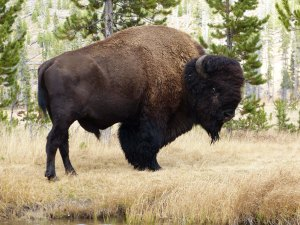 buffalo at wolf lake