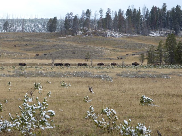 Hayden Valley herd