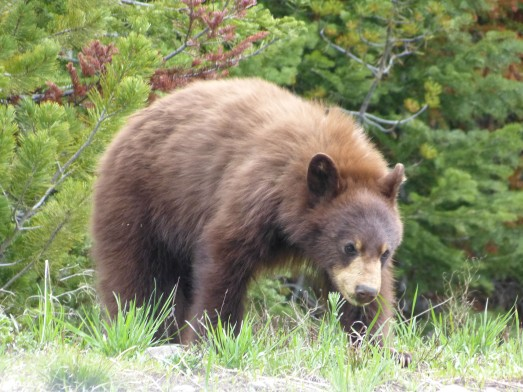 grizzly cub from car-2