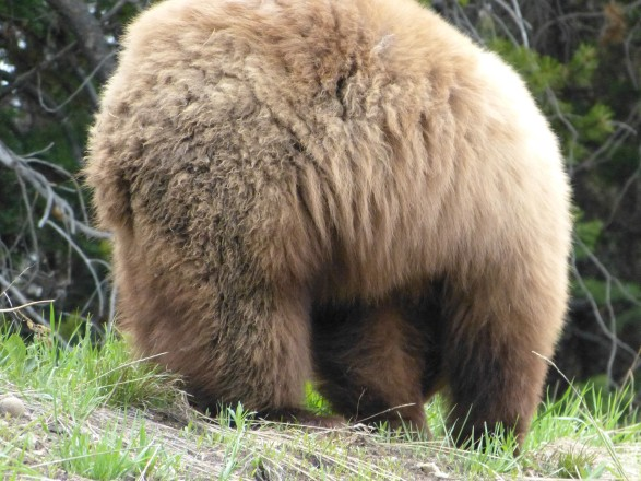 grizzly tush (from car)