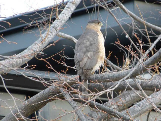 Cooper's hawk on Hudson Street