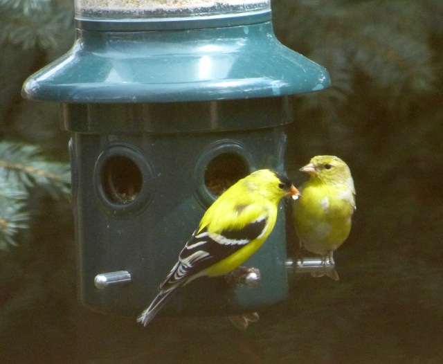 double goldfinch