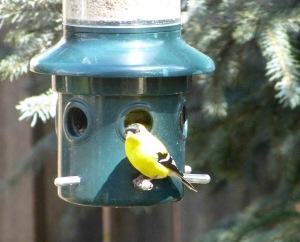 goldfinch-3