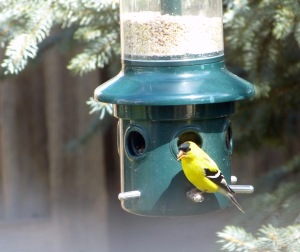 goldfinch-4