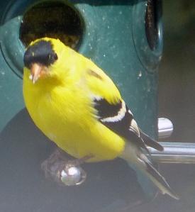 goldfinch-5