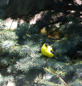 Mr. Goldfinch-2