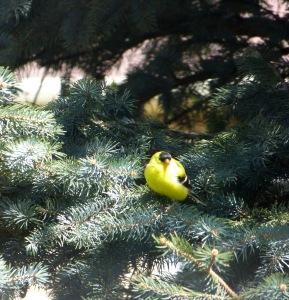 Mr. Goldfinch-2