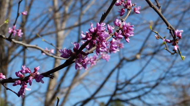 red bud miracle-1