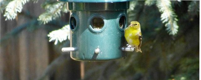 single goldfinch-1