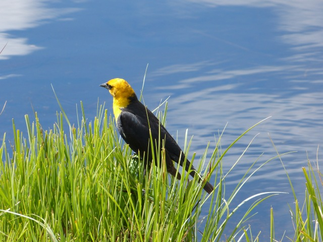yellow-headed blackbird-1