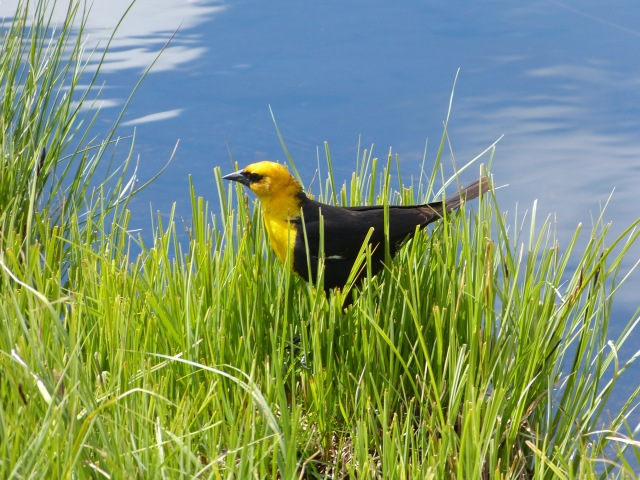 yellow-headed blackbird-2